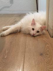2 tolle weiße Norwegische Waldkatzen