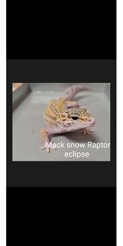 Leopardgecko 0 1 NZ 20