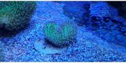 Meerwasser korallen pilzlederkoralle weiss