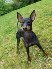Deckrüde English Toy Terrier
