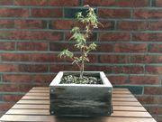 Bonsai Japanischer Ahorn Acer Palmatum