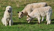 Galloway Kuhkalb Herdenschutzhund gewöhnt