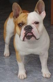 Deckrüde Französische Bulldogge