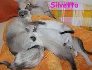 4 süße Thai - Kitten alte