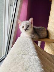 BKH Kitten Reinrassig Silver Black
