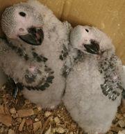 Baby Papagei Zahm