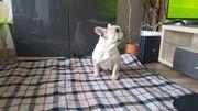 französische Bulldogge 5 jahre