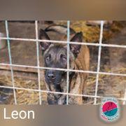 Leon- Malinois Mix- nur für
