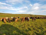 Suche Reitbeteiligung auf Islandpferd