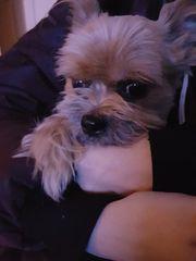 Chiuahua-Yorkshire Terrier Mix