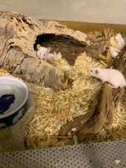 Weiße Mäuse aus Hobbyzucht abzugeben