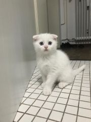 Scottish Fold BKH