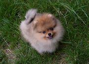 Ein echter Zwergspitz Pomeranian Mädchen