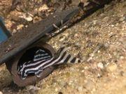 Wels L 46 Zebra Weibliche