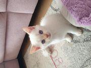 Wunderschöner BKH Kitten Kater