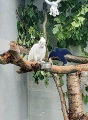 Einsamer Salomonen Kakadu sucht ein