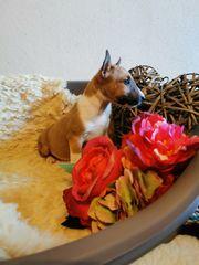 Miniatur Bullterrier Edelmix Welpen zu