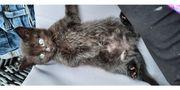 Katzenbaby Kitten bald abgabebereit