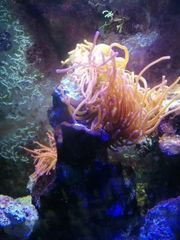 Meerwasseraquarium 2 Kupferanemonen