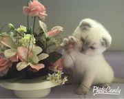 Süsse BKH Kitten Color Point