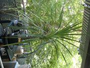 Dracaena Indivisa Drachenbaum