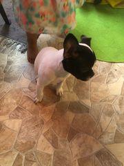 französische Bulldogge Weibchen 10 Wochen