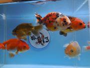 KOI 13 Anz 95 2020 Goldfisch -