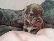Chihuahua Rüde lilac tan langhaar