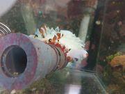 Amphiprion Ocellaris Nachzucht falscher Clownfisch