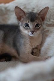 Abessinier Kitten 10 Wochen