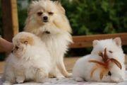 Pomeranians Welpen - Bereit zu gehen