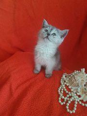Süße BKH Katze