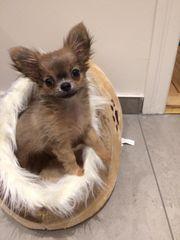 Kleine Chihuahua-Hündin