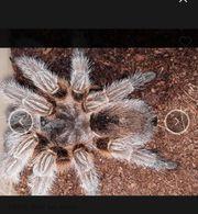 Vogelspinnen Grammostola Theraphosa