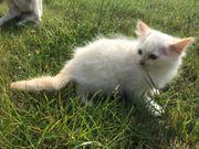 Baby Katze Heilige Birma Norwegische