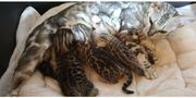 Traumhafte Bengal Kitten