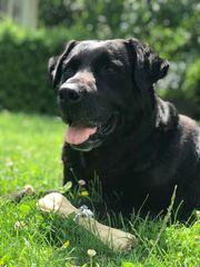 Deckrüde Labradormischling