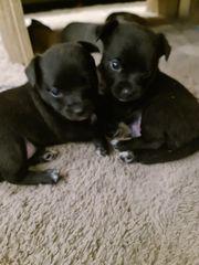 2 kleine süße Welpen Chihuahua