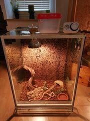 Schlange-Kornnatter mit Terrarium