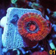 Korallen Meerwasser Ableger LPS SPS