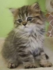 Ragdoll BKH mix kitten suchen