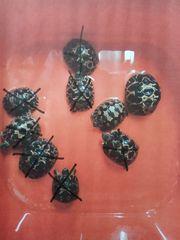 Strahlenschildkröten-Nachzuchten aus 2020