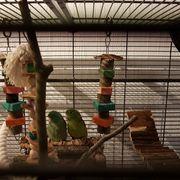 Augenring-Sperlingspapageien Paar mit geräumigem Käfig