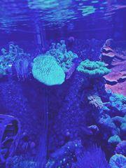 Sarcophyton Pilz grün Ableger Meerwasser