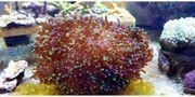 Meerwasser Euphyllia paradivisa XXL