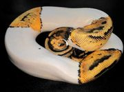 Pastel Yellow Belly Pied