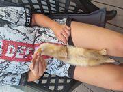 Frettchen Baby Rüden Siam