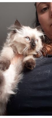 Süße Scottisch fold Kitten suchen