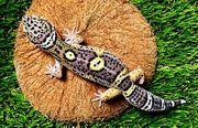 Leopardgecko Akoya Nachzucht 2021 0