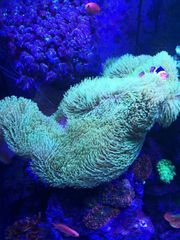 Lederkoralle Meerwasser Aquarium Koralle